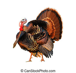 Turkey Tom strutting his