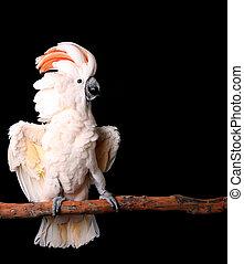 Moluccan, cacatúa, con, el suyo, alas, afuera