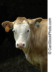 Young Calf - A young calf bought at the livestock market