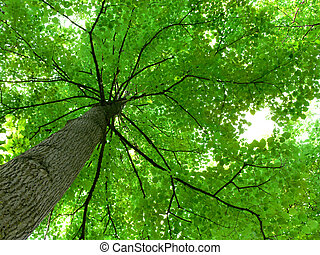 Tree Canopy - Shot of the bottom of a tree canopy, looking...