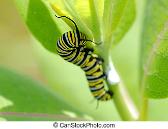 Danaus Plexippus - Monarch Caterpillar B Macro - Macro of a...