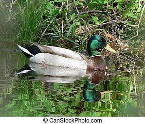 Floating Mallard - Male mallard duck swimming in Kildonan...