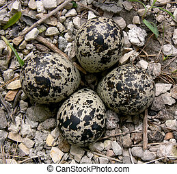 Killdeer eggs in spring.