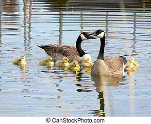 Family of geese in spring. - Two adult geese with several...