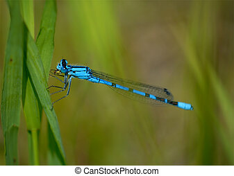 Blue Dragonfly on Blade of Grass Macro - Macro of a tiny...