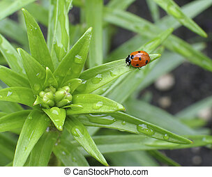 Spring Ladybug - Ladybug on the leaf of a young lily plant...
