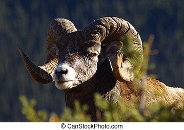 Montaña, Sheep, 3