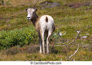 Mountain Sheep 4 - A ewe in the wilderness of the rocky...