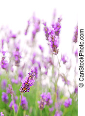 Lavender - Botanical background of blooming purple lavender...