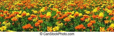 Field of Yellow and Orange Marigolds : Panoramic Shot -...