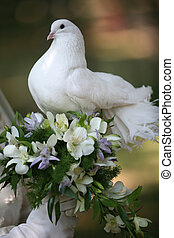 Wedding pigeon - The pigeon in hands at the bride