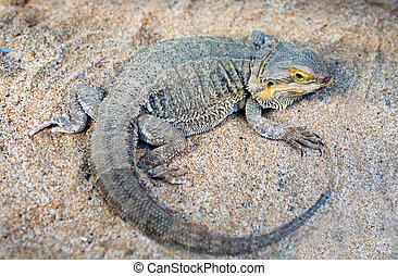 Bearded Dragon lizard over desert sand