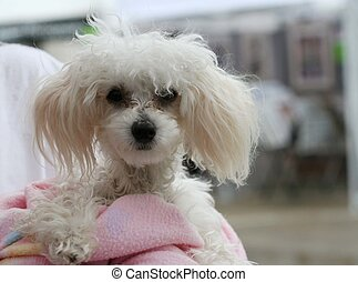 Teacup poodle - Tiny white poodle was wrapped in a pink...