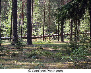 coniferous forest - The coniferous forest Russian timber of...
