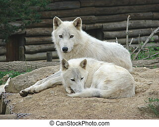 a couple of wolves - this photo has been taken in a zoo