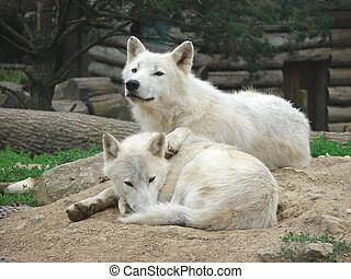 a couple of wolves - this photo has been taken in a zoo.