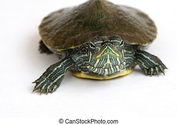 Red-eared slider turtle. - Cute Red-eared slider turtle on...