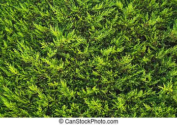Fir bush background