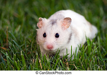 White hamster watching carefully in the grass