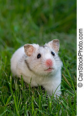 White hamster in the grass, looking up