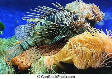 Lion fish - A Lionfish is any of several species of venomous...