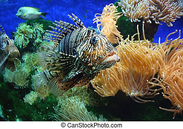 Lion fish 2 - A Lionfish is any of several species of...