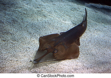 Guitarfish - The guitarfish is known for an elongated body...