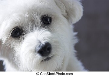 Adorable Maltese - Adorable fun loving Maltese posing for...