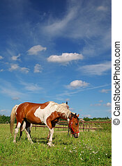 Horses grazing in meadow - Rural scene in belgium, horses...