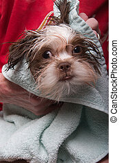 Drying Wet Puppy with Towel - Baby Shih Tzu Puppy gets dried...