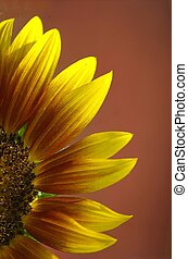 Sunflower - photographed sunflower from local garden in...