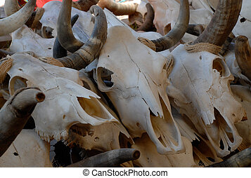 Cow Skull - Pincture of cow skulls