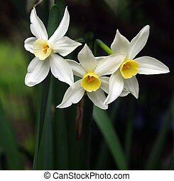 Three Jonquils - Three spring jonquils against a dark leafy...