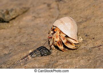 Hermit crab - A hermit crab on a sandy beach, Mozambique,...