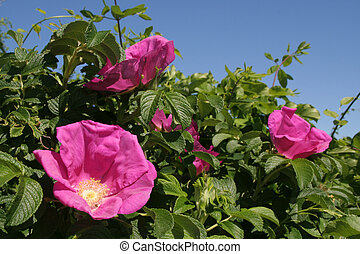 Rosa Rugosa, Mass Beach - Rosa Rugosa, Beach Massachusets,...