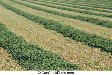 Rows of Alfalfa Hay - Rows of cut alfalfa hay in a field.