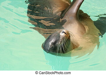 Sleeping Sea Lion - Sea Lion performing at Loro Parque on...