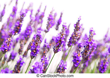 Lavender background - Botanical background of lavender herb...