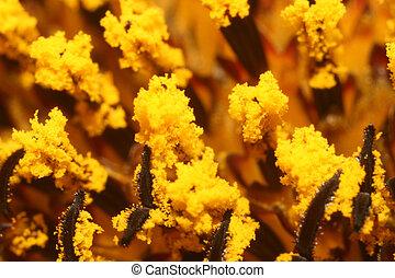 Sunflower macro - A beautiful macro of sunflower\\\'s...