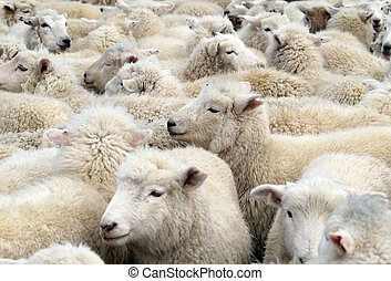 Mob of White Sheep - A close up of a mob of white sheep,...