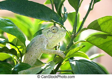 Chameleon - Lazy chameleon in the tree in Cyprus