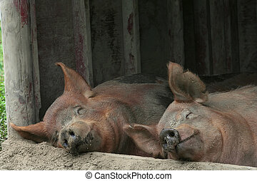 Sweet Dreams - Two pigs share a nap on a farm.