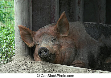 Sweet Dreams - A pig looks happy while he naps.