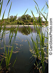 Riparian Pond Reflection - Green Foreground Cattails Frame...