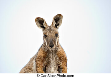 footed, rocha, amarela,  wallaby