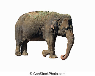Asian Elephant - Large Asian elephant (Elephas maximus),...