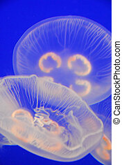 transparent jellyfish - jellyfish in motion