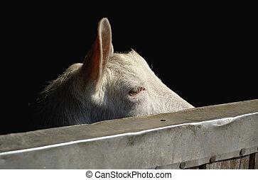 goat - a portrait of a goat
