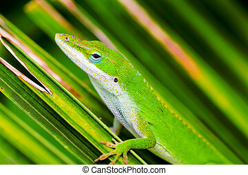 Common but Colorful - A tiny anole lizard carefully poised...