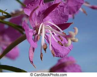 rose-bay flowers - The rose-bay flowers, willow-herb, macro